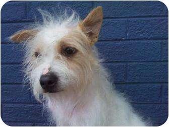 Westie, West Highland White Terrier/Terrier (Unknown Type, Small) Mix Dog for adoption in Houston, Texas - BATMAN