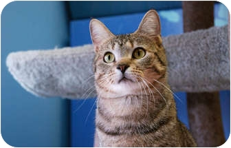 Domestic Shorthair Cat for adoption in Chicago, Illinois - Sylvio