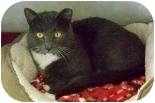 Domestic Shorthair Cat for adoption in Summerville, South Carolina - Hunter