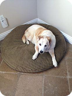 Labrador Retriever Mix Dog for adoption in Sun Valley, California - Opal