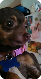 Chihuahua Dog for adoption in Oviedo, Florida - Pipsy Pearl