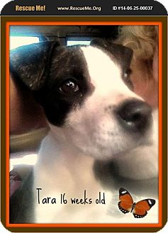 Staffordshire Bull Terrier/American Pit Bull Terrier Mix Puppy for adoption in West Los Angeles, California - Tara