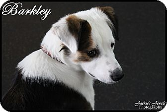 Border Collie/Australian Shepherd Mix Puppy for adoption in Rockwall, Texas - Barkley