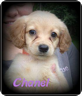 Cockapoo/Cocker Spaniel Mix Puppy for adoption in Denver, North Carolina - Chanel