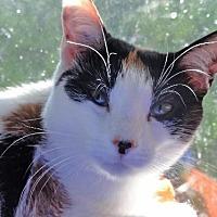 Domestic Shorthair Cat for adoption in Devon, Pennsylvania - Sally