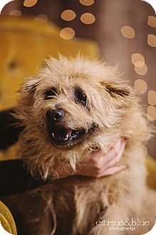 Wheaten Terrier/Chow Chow Mix Dog for adoption in Portland, Oregon - Madison