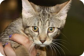 Domestic Shorthair Kitten for adoption in Mt. Pleasant, Michigan - Bernice