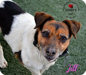 Jack Russell Terrier Mix Dog for adoption in Youngwood, Pennsylvania - Jill