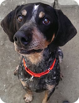 Bluetick Coonhound Dog for adoption in Springfield, Vermont - Capone