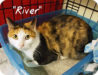 Calico Cat for adoption in Ocean City, New Jersey - River