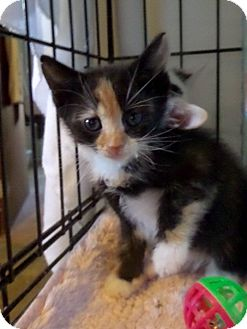 Domestic Shorthair Kitten for adoption in East Brunswick, New Jersey - Rosie
