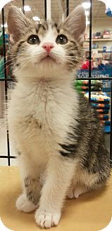 Domestic Shorthair Kitten for adoption in Alexis, North Carolina - Peppy