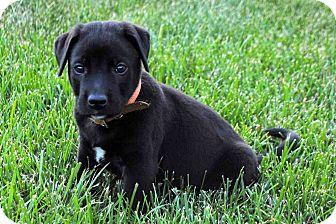 Labrador Retriever Mix Puppy for adoption in Salem, New Hampshire - PUPPY THEO