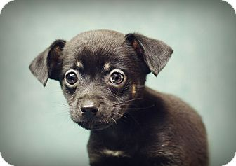 Dachshund/Chihuahua Mix Puppy for adoption in Marietta, Georgia - Crunch