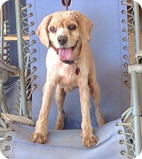 Cocker Spaniel Dog for adoption in Santa Barbara, California - Elke