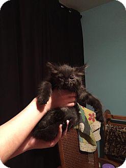 Domestic Longhair Kitten for adoption in Kalamazoo, Michigan - Snowbelly