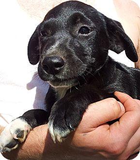 Border Collie/Labrador Retriever Mix Puppy for adoption in SOUTHINGTON, Connecticut - Lady