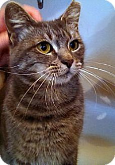 Domestic Shorthair Cat for adoption in Oak Park, Illinois - Gabbie