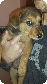 Shepherd (Unknown Type)/Terrier (Unknown Type, Small) Mix Puppy for adoption in Lima, Pennsylvania - Latte