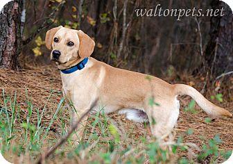 Beagle Mix Dog for adoption in Monroe, Georgia - SPORT