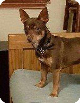 Chihuahua Dog for adoption in Hampton, Virginia - BUCKY