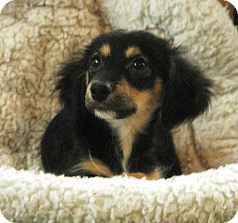 Dachshund/Spaniel (Unknown Type) Mix Puppy for adoption in Lawrenceville, Georgia - Rocky