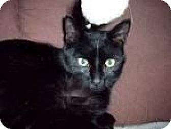 Domestic Shorthair Cat for adoption in Fenton, Missouri - Midnight