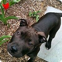 Adopt A Pet :: Calla - Framingham, MA