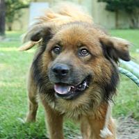 Chow Chow Dog for adoption in Hankamer, Texas - Crawfish Red / Dakota