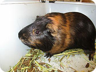 Guinea Pig for adoption in Lloydminster, Alberta - Gizmo