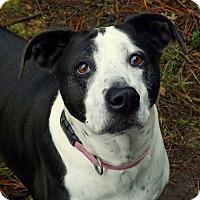 Labrador Retriever Mix Dog for adoption in Libby, Montana - Dotty