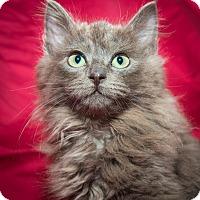Adopt A Pet :: Valentino - New York, NY