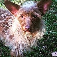 Adopt A Pet :: Brownie - Danbury, CT
