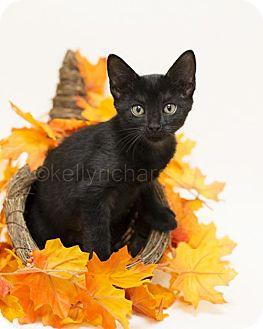 Domestic Shorthair Kitten for adoption in Oviedo, Florida - Juliette