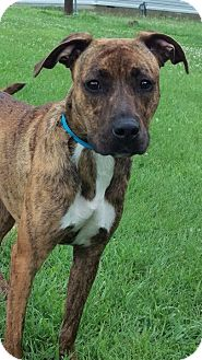 Boxer/Mountain Cur Mix Dog for adoption in Sparta, Kentucky - Cherokee