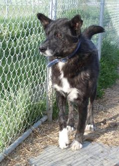 Retriever (Unknown Type)/Husky Mix Dog for adoption in Meadow Lake, Saskatchewan - Blue