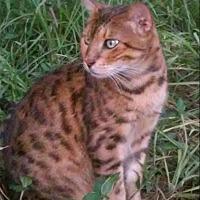 Adopt A Pet :: Nobel - Zolfo Springs, FL