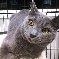 Domestic Shorthair Cat for adoption in Webster, Massachusetts - Lenny