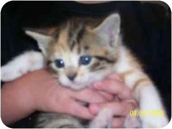 Domestic Shorthair Kitten for adoption in Kansas City, Missouri - Cassie