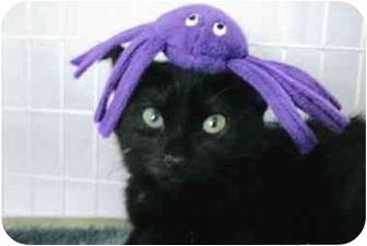 Domestic Shorthair Kitten for adoption in Brea, California - Kippy