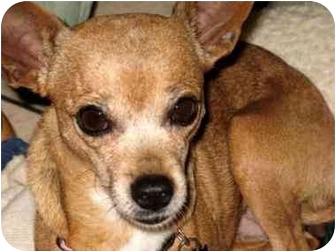 Chihuahua Mix Dog for adoption in petaluma, California - MollyBrown