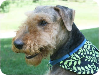 Airedale Terrier Dog for adoption in Howell, Michigan - Zeus