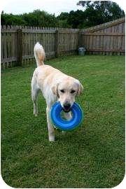 Labrador Retriever/Golden Retriever Mix Dog for adoption in Altmonte Springs, Florida - Buster
