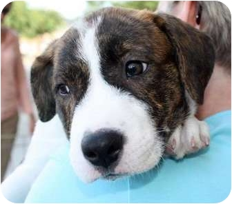 Beagle/Hound (Unknown Type) Mix Puppy for adoption in Marietta, Georgia - Spark