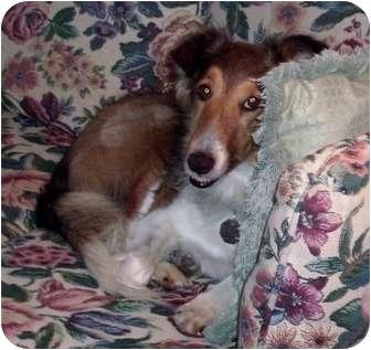 Sheltie, Shetland Sheepdog Dog for adoption in La Habra, California - Bonnie