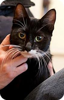 Domestic Shorthair Cat for adoption in Chicago, Illinois - Maria