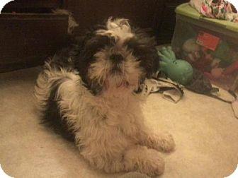 Shih Tzu Dog for adoption in COLUMBUS, Ohio - Greg