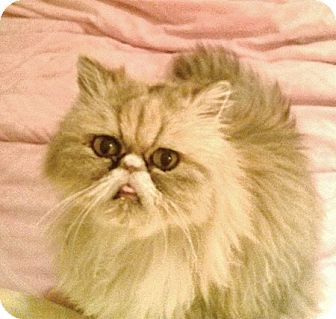 Persian Cat for adoption in Davis, California - Pansy