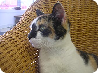 Domestic Mediumhair Cat for adoption in Austintown, Ohio - Ellie