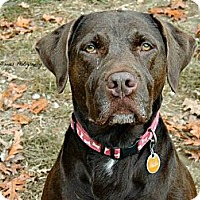 Adopt A Pet :: EVA the lovely lab - Durham, NH